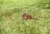 Small squirrel on grass (Aspiriini) Tags: canon suomi finland squirrel orava sciurusvulgaris jonilehto aspiriini