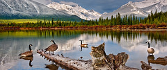 Goosing Around (Luke Austin) Tags: lake canada mountains rockies geese nationalpark spring goose alberta banff vermillion canadianlandscape lukeaustin nikond3x