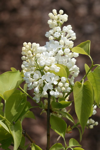 Madame lemoine - harilik sirel / syringa vulgaris / common lilac