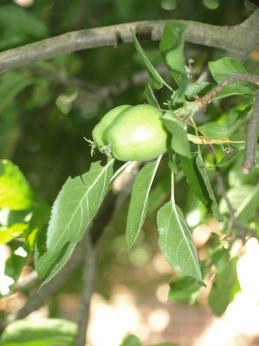 greenapples