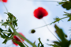 red UFOs (ion-bogdan dumitrescu) Tags: flowers red leaves leaf ufo lookup romania poppy poppies ufos ploiesti bitzi ibdp mg2293 ibdpro wwwibdpro ionbogdandumitrescuphotography