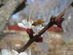 bee in an apricot flower (sjr8545) Tags: spring bee apricotflower