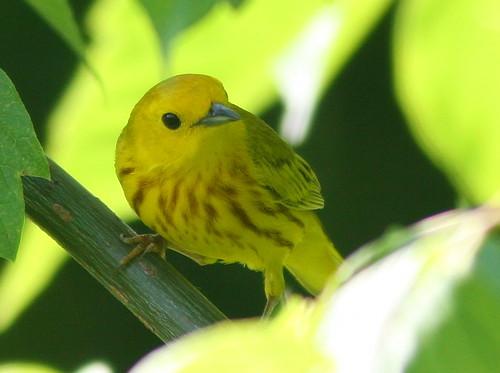 Yellow Warbler 20100610