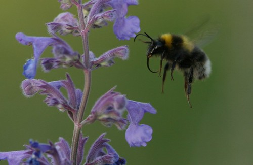 Bumblebee on Catmint