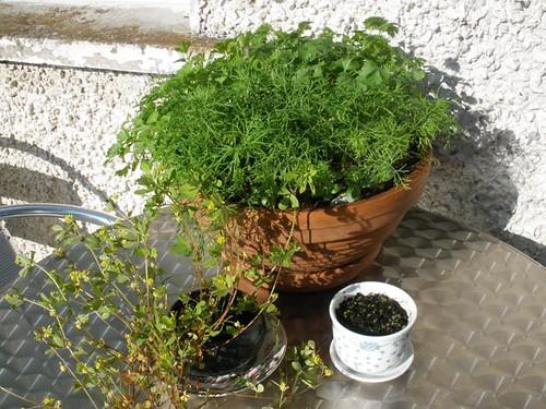 Herbs & shamrock