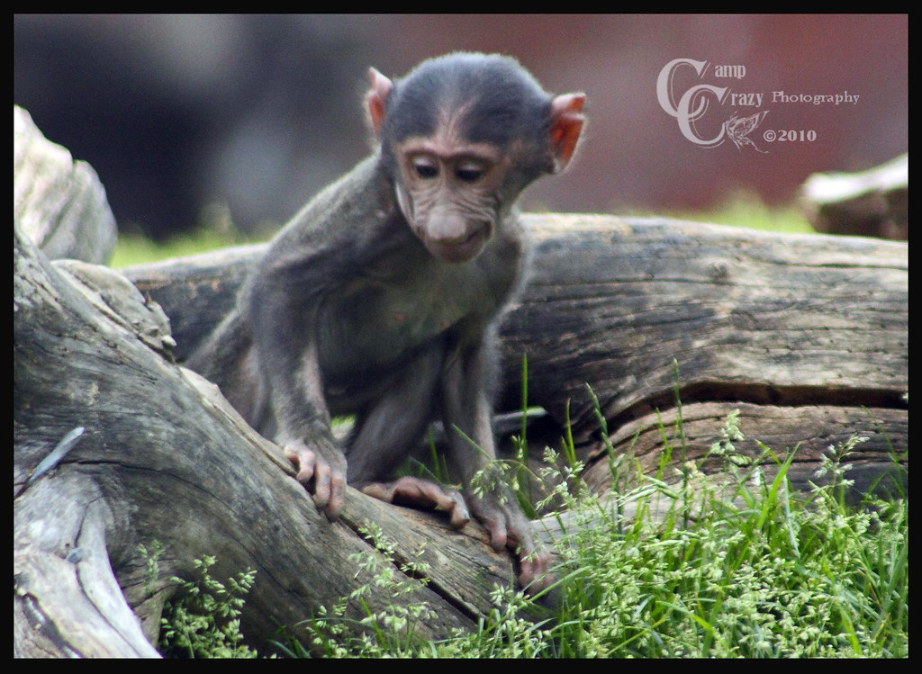 Baby Olive Baboon