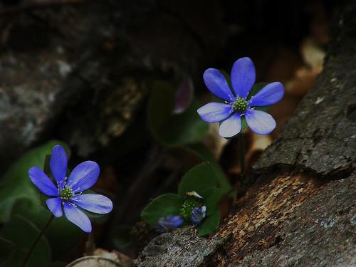 Flora montana 8