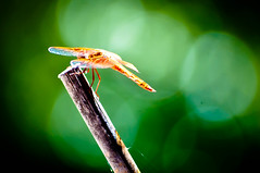 Anisoptera : Red Dragonfly and bokeh (tibchris) Tags: bug insect wings nikon dragonfly critter paloalto anisoptera professorville d700 tibchris arcticpuppy snapchris