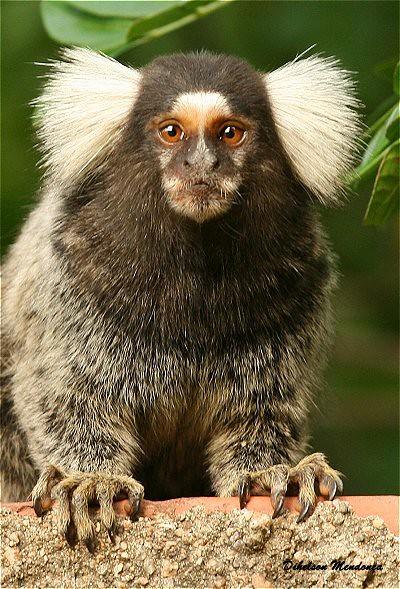 mico - Por: Dihelson Mendonça