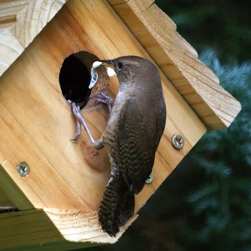 House Wren with Fecal Sac (Cleaning the nest)