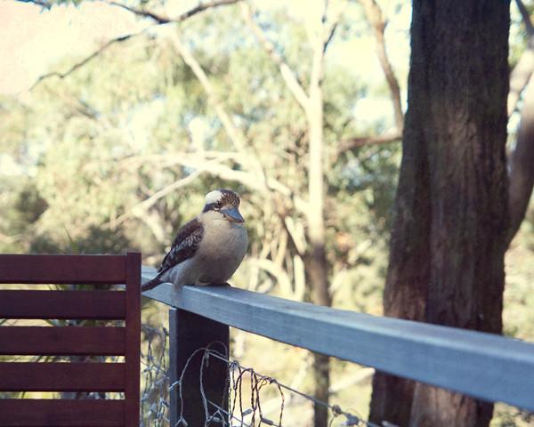 Kookaburra Karragarra4