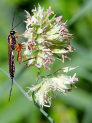 Ichneumon Wasp (RicheRifkind - EarthCaust Photography) Tags: uk plant black macro green nature fuji wasp wildlife lancashire ichneumon rspb leightonmoss s100fs