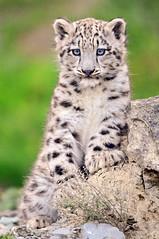 [フリー画像] 動物, 哺乳類, ネコ科, 豹・ヒョウ, 雪豹・ユキヒョウ, 201010151100