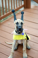 Getting Ready for the First Annual U-City Dog Park Halloween Costume Party at the Boat House in Forest Park, St Louis. (snow55) Tags: park party dog halloween st canon 50mm louis costume great 15 bumblebee fawn 7d dane weeks 28135mm sherman universitycity