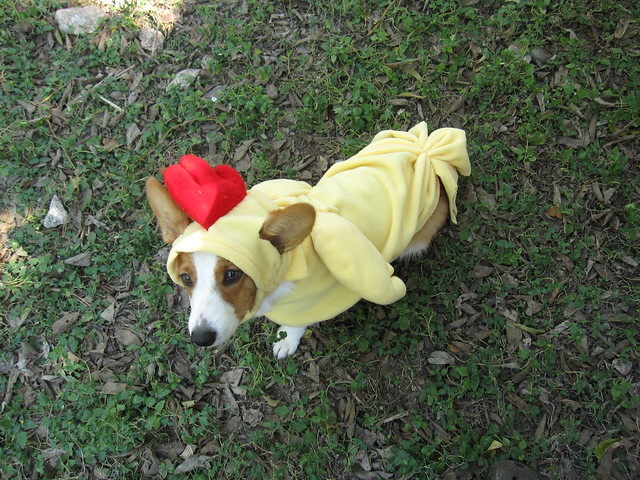 Pocket the Halloween Chicken