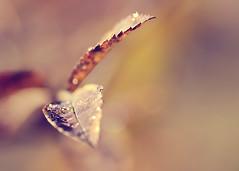 Breathe... (~ Maria ~) Tags: autumn droplets warm dof bokeh drop sparkle simplicity earthtones bokeg hbwd