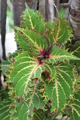 Coleus 'Peter Wonder'