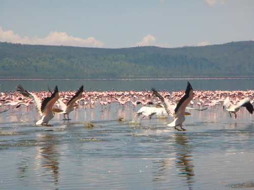 Flemingo at Lake Nakuru