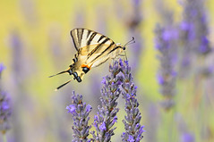 Scarce Swallowtail (Iphiclides podalirius) (Sky and Yak) Tags: scarce swallowtail iphiclides podalirius butterfly lavender france nature