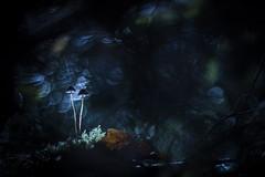 An unreal world (Elias macro proxy photographies) Tags: nature blue bleu champignon mushroom canon6d meyer trioplan ambiance bois lumière flares
