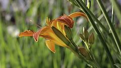 glowing lily (++sepp++) Tags: garten natur taglilie graben bayern deutschland de daylily orange garden nature nahaufnahme closeup doublefantasy