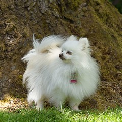 Molly in the garden (mariannedeselle (slowly catching up)) Tags: molly dog pomeranian pom chien littledog whitedog garden