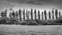 Arbres étranges.jpg (BoCat31) Tags: nb arbre série paysage extérieur