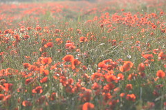 Dream full of poppies (dfromonteil) Tags: poppies flowers fleurs grass herbe prairie paysage landscape red green rouge vert colors couleurs light sunlight lumière ensoleillé nature