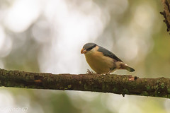 Schotland 2017-129 (Switch62) Tags: scotland 2017 aberfoyle dukes pass visitor centre boomklever nuthatch
