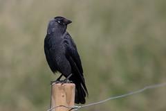 Jackdaw (Simon Stobart) Tags: jackdaw corvus monedula sat fence post wire northengland ngc npc