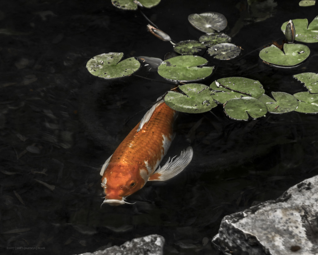 The world 39 s best photos of koi and water flickr hive mind for Koi fish water