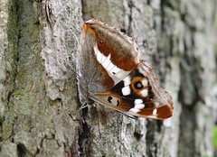 Apatura iris - The Purple emperor female (westgpottery) Tags: grote weerschijnvlinder insect nature forrest