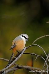 ADS_000007333 (dickysingh) Tags: india bird outdoor aditya ranthambore singh ranthambhore dicky longtailedshrike adityasingh ranthamborebagh theranthambhorebagh wwwranthambhorecom