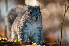 Delmarva Fox Squirrel @ Blackwater Refuge