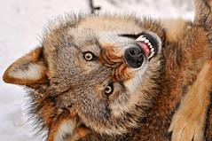 [フリー画像] [動物写真] [哺乳類] [イヌ科] [狼/オオカミ] [威嚇]      [フリー素材]