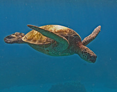flippers in the blue (bluewavechris) Tags: ocean life blue sea brown green water animal swim hawaii sand marine turtle reptile shell maui creature flipper