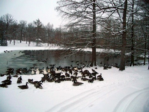 cold geese