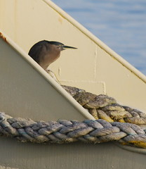 Heron (tkmckinn) Tags: birds australia july09