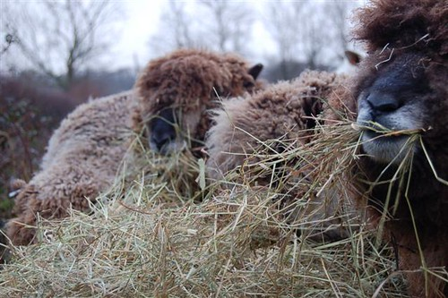 Sheep eating hay