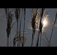 A New Journey (LL) Tags: sun sunlight reed ellen suncatcher sonne daterra sonnenlicht steinau steiof chinaschilf