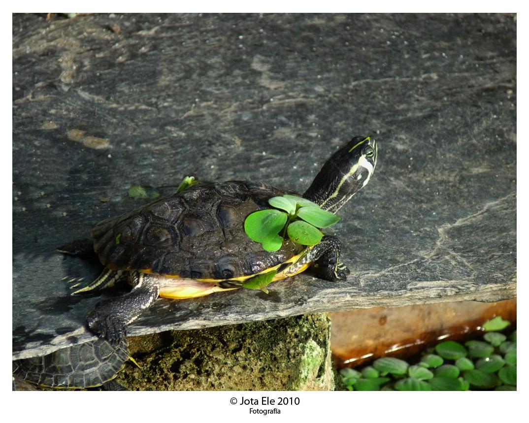 Tortugas III