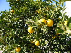 IMAG0105 (yapublic) Tags: valencia frucht spanien orangen