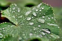 (Ute Bolmer) Tags: plant water wasser pflanze tropfen tautropfen mywinners