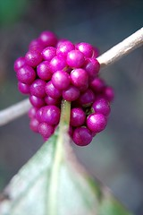 Delicate Beauty Berry cluster emblazoned by the morning sun (jungle mama) Tags: rose fruit purple miami cluster magenta tropical shrub americanbeautyberry 1001nights beautyberry soe verbena potofgold verbenaceae coth mywinners abigfave callicarpaamericanal worldbest frenchmulberry ysplix theunforgettablepictures theperfectphotographer goldstaraward naturethroughthelens awesomeblossoms 100commentgroup naturesgreenpeace floridatreeid floridashrub floridaweedid tropicalpinetree
