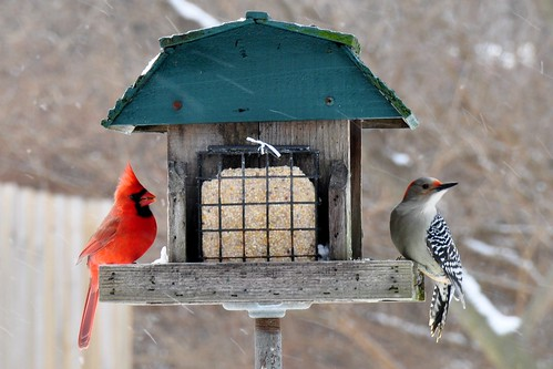 Cardinal & Red-Bellied Woodpecker