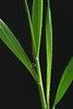 Brachypodium distachyon