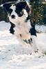 Zoomies (fotoham) Tags: dog blackwhite bordercollie indi zoomies sigma70300mmf4056dgmacro nikond3000 thistimeyoushouldntviewlargeitlooksmoreoutfocusthatway youcanseehertreelittlelegfreckles shehassnowonherlip