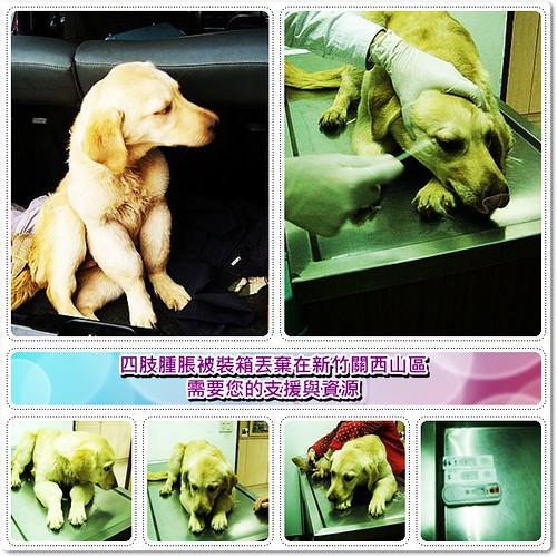 「募資源」被裝箱丟棄在新竹關西山區的黃金獵犬,四肢腫脹不知道是什麼病症?需送台大檢驗,目前其餘健檢是正常,需要您的支援與資源,轉PO也是很重要,謝謝您,20100202