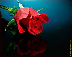 20091109_2462 (Lino Sgaravizzi ) Tags: flora rosa natura fiori rosso riflesso theunforgettablepictures excellentsflowers natureselegantshots saariysqualitypictures