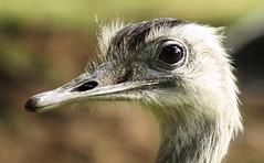 Ostrich Close Up (Feggy Art) Tags: ostrich struthio camelus struthioniformes wildlife safari park eater feathers long neck large eyes woburn feggyart art feggy canon xsi rebel eos victius plant botany botanical